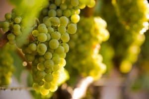 variedad uva bodegas angel